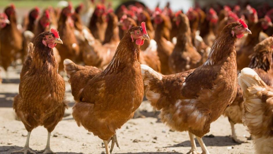 Птичий грипп обнаружен на птицефабрике в Норд-Брабанте