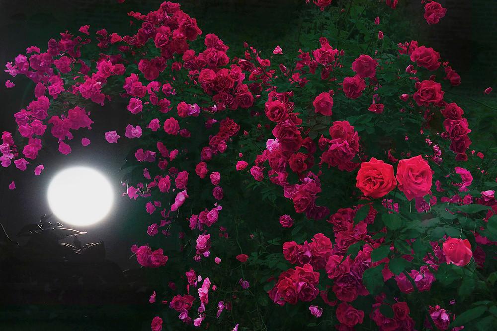 (capsule) Show NY Men's 18SS - HIROMI ASAI - Midsummer Night's Roses