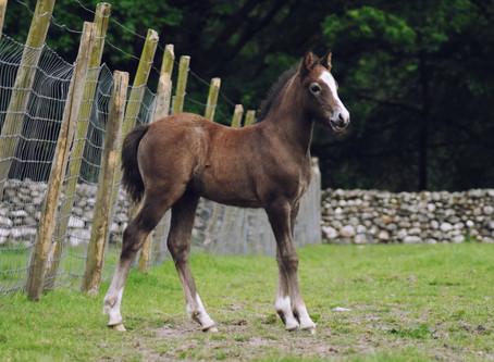 Celfach's First Foals