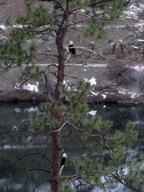 Eagles in Hells Canyon