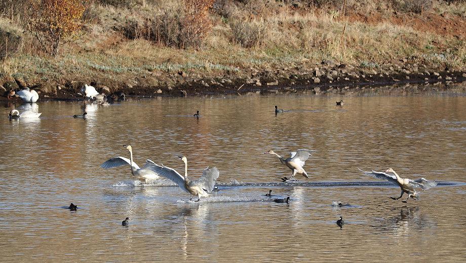 Tundra Swans Fall2020.jpg