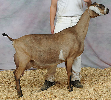 SGCH Blissberry Jamaican Me Shine 6*M EX92. Photo courtesy of Blissberry Dairy Goats.