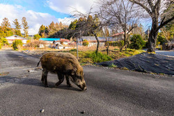 Wildboar in Nagadoro,Iitate-village