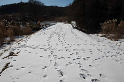 Footprints of wildboar