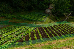 Protective fence of vegetable field