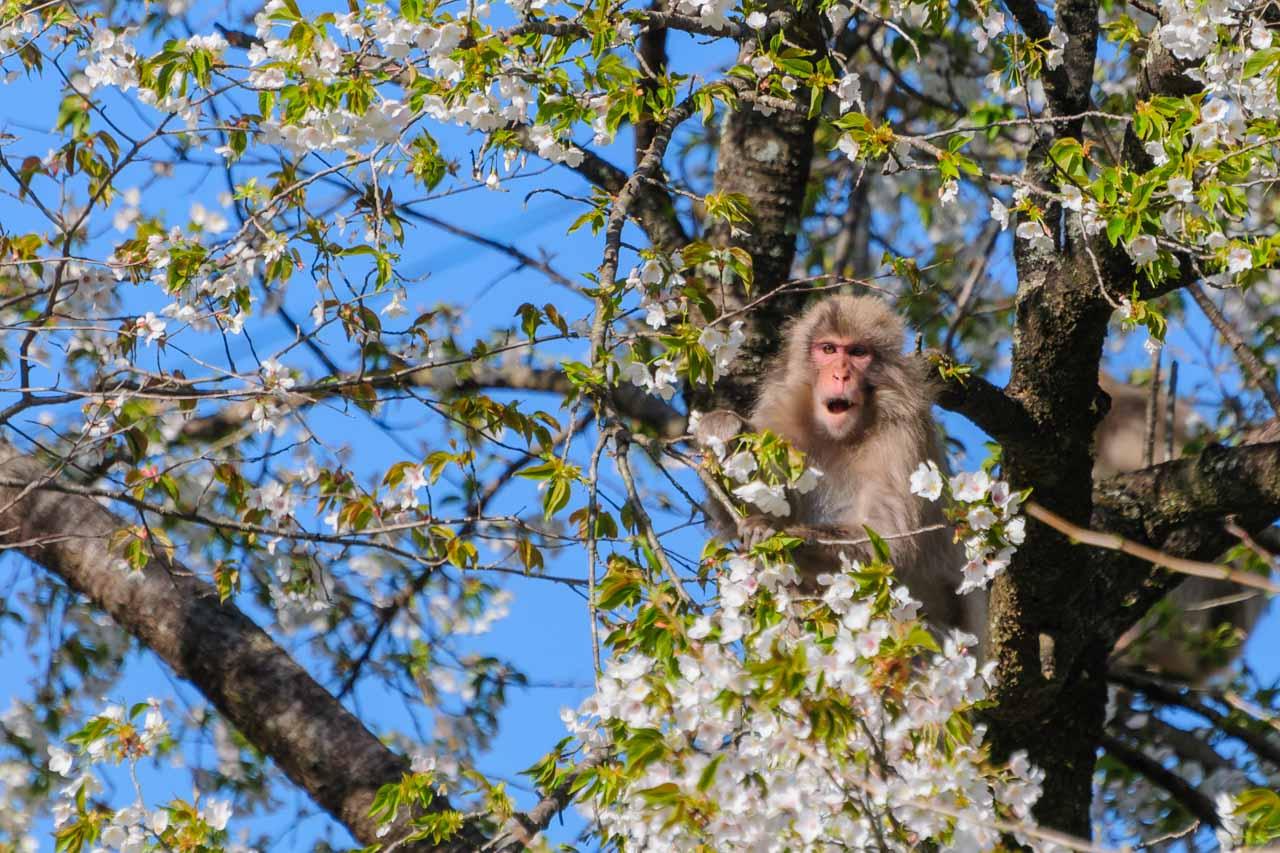 Japanese monkey eating cherryblossom