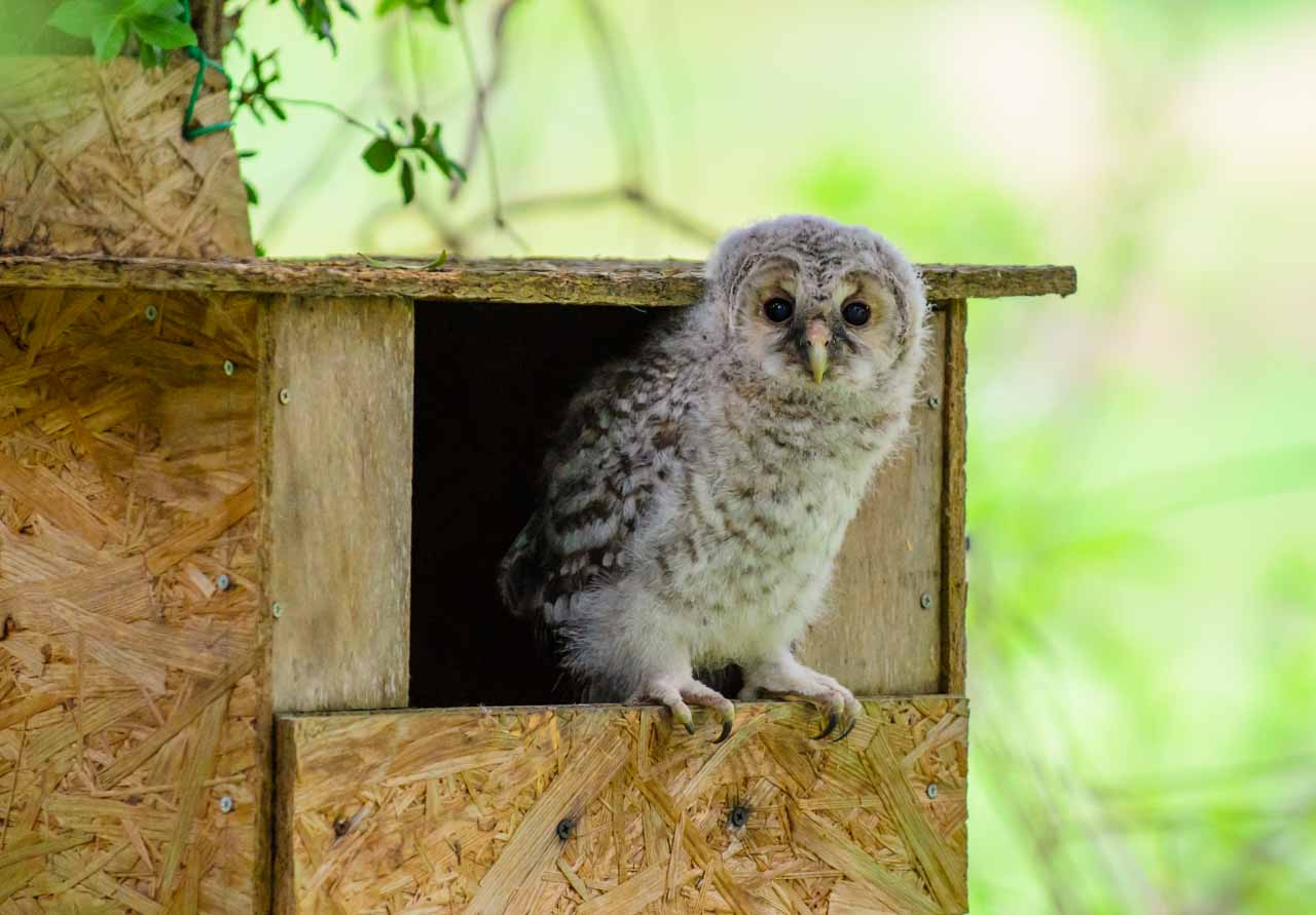 Chick owl