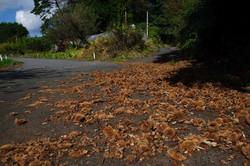 Chestnuts eaten by wildboar