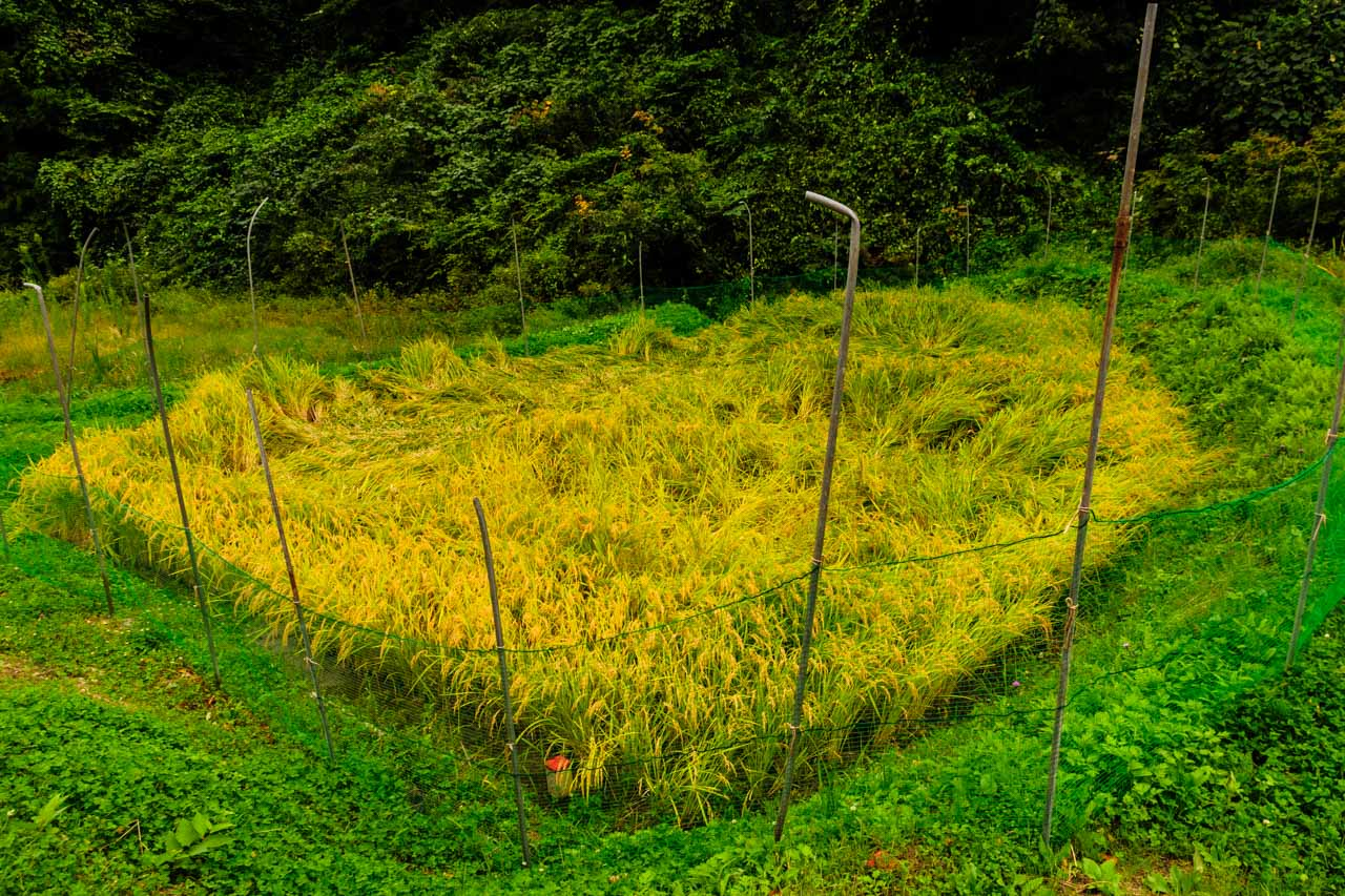 Protective fence of rice field