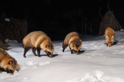 Racoon dogs & redfox