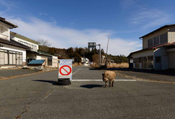 Wildboar in Nagadoro,Iitate