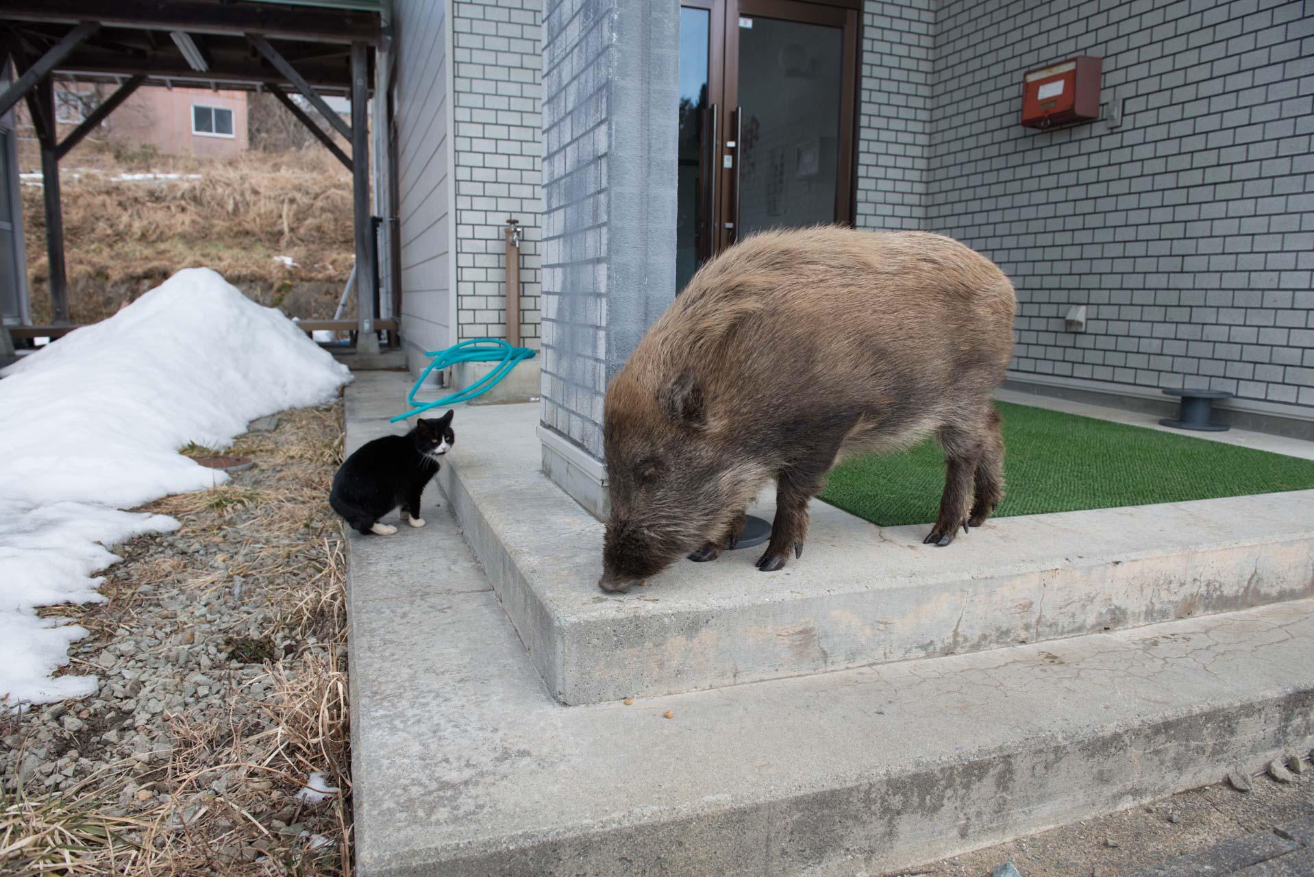 Cat & wildboar