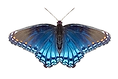 Blue Butterfly Robin Perfect Mirror.png