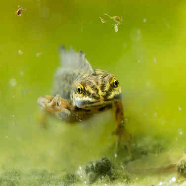 Kleine watersalamander 001