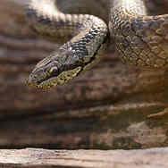 Gladde slang