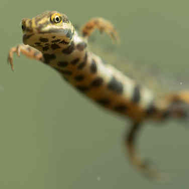 Kleine watersalamander 002