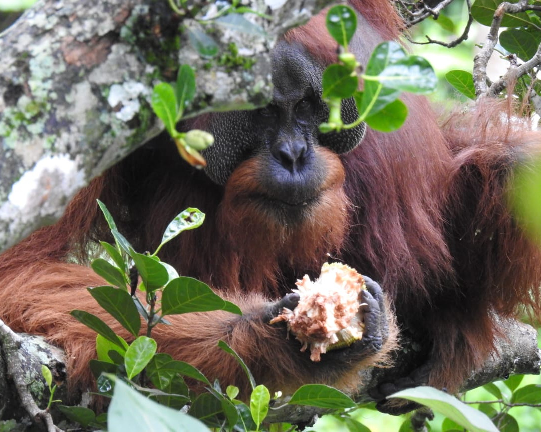 Orangutan Asel Okt.jpg