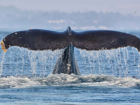 """Top 8 reasons why whale watching with Eagle Wing Tours is a """"Victoria Must-Do"""""""