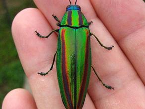 눈에 띄지 않기 위해 눈에 띄기: 딱정벌레의 무지개빛 껍질