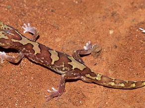 당신이 더러운 도마뱀붙이(Geckos)를 결코 본 적이 없는 이유