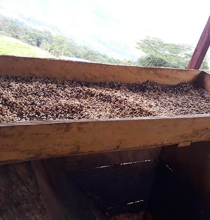 coffee fermentation