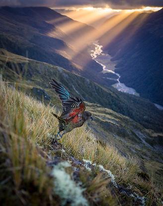 Kea New Zealand Back Country