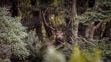 Wapiti Deer Hunting