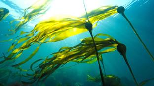 Les algues:quelle panacée!