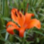 Tigerlily Bloom
