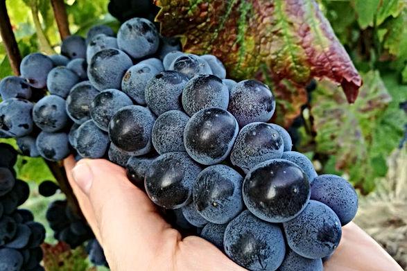 brachetto druif.jpg