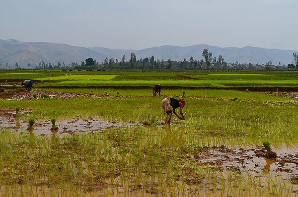 repiquage du riz.jpg