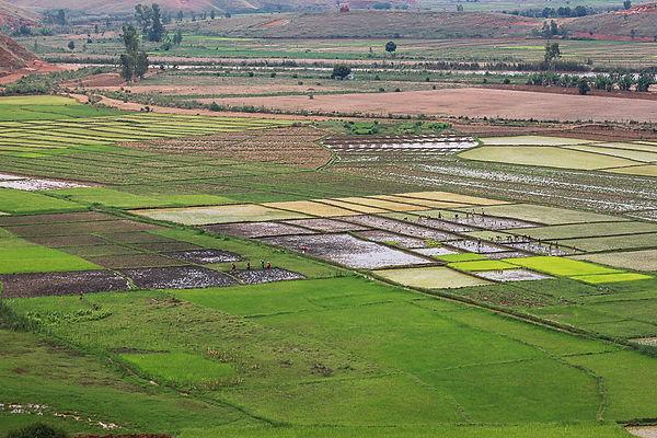 repiquage du riz dans la plaine.jpg