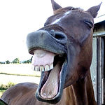 Funny-Horse-Laughing-Face.jpg