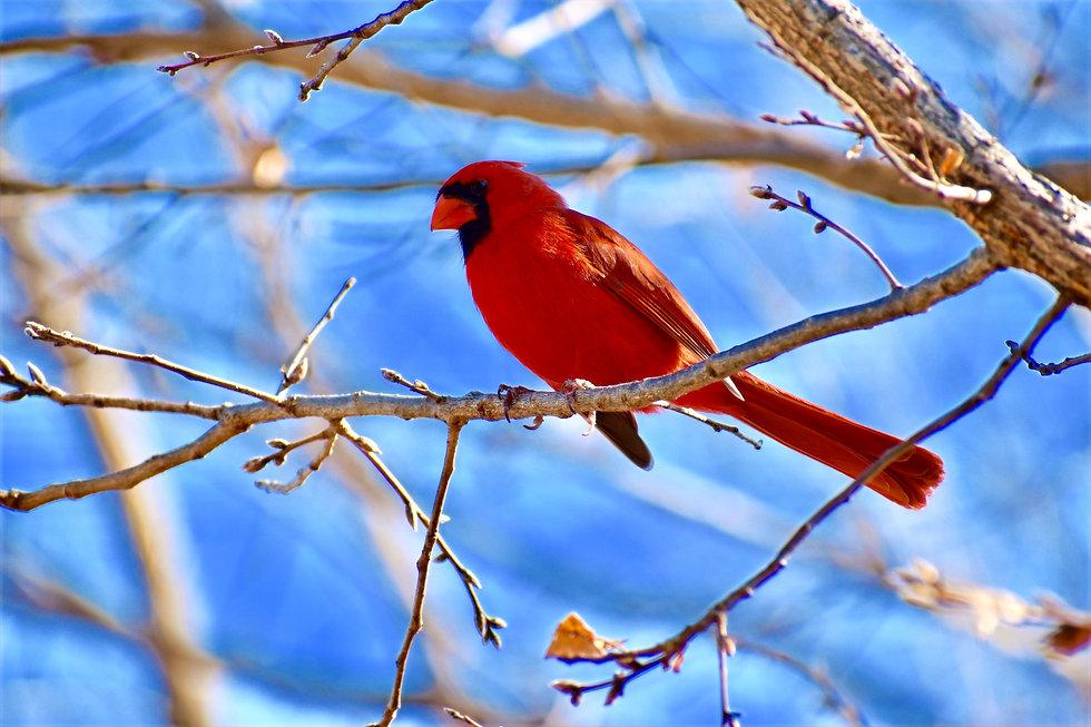 red%20cardinal%20bird%20on%20tree_edited