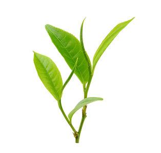 plant, tea leaves