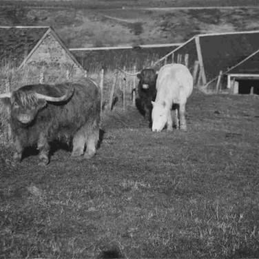 103 - Cattle at mill of Ogilvie Farm