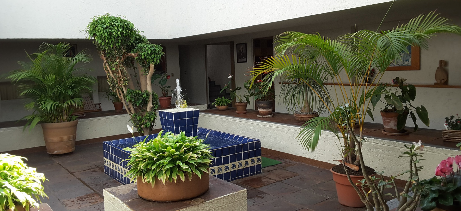 Ficus en el centro del Claustro
