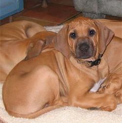 Sirius puppy