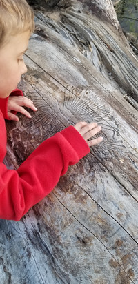 Boy tracing insect trails on a log