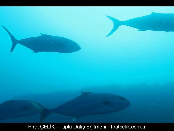 Karaburun Akya Balıkları