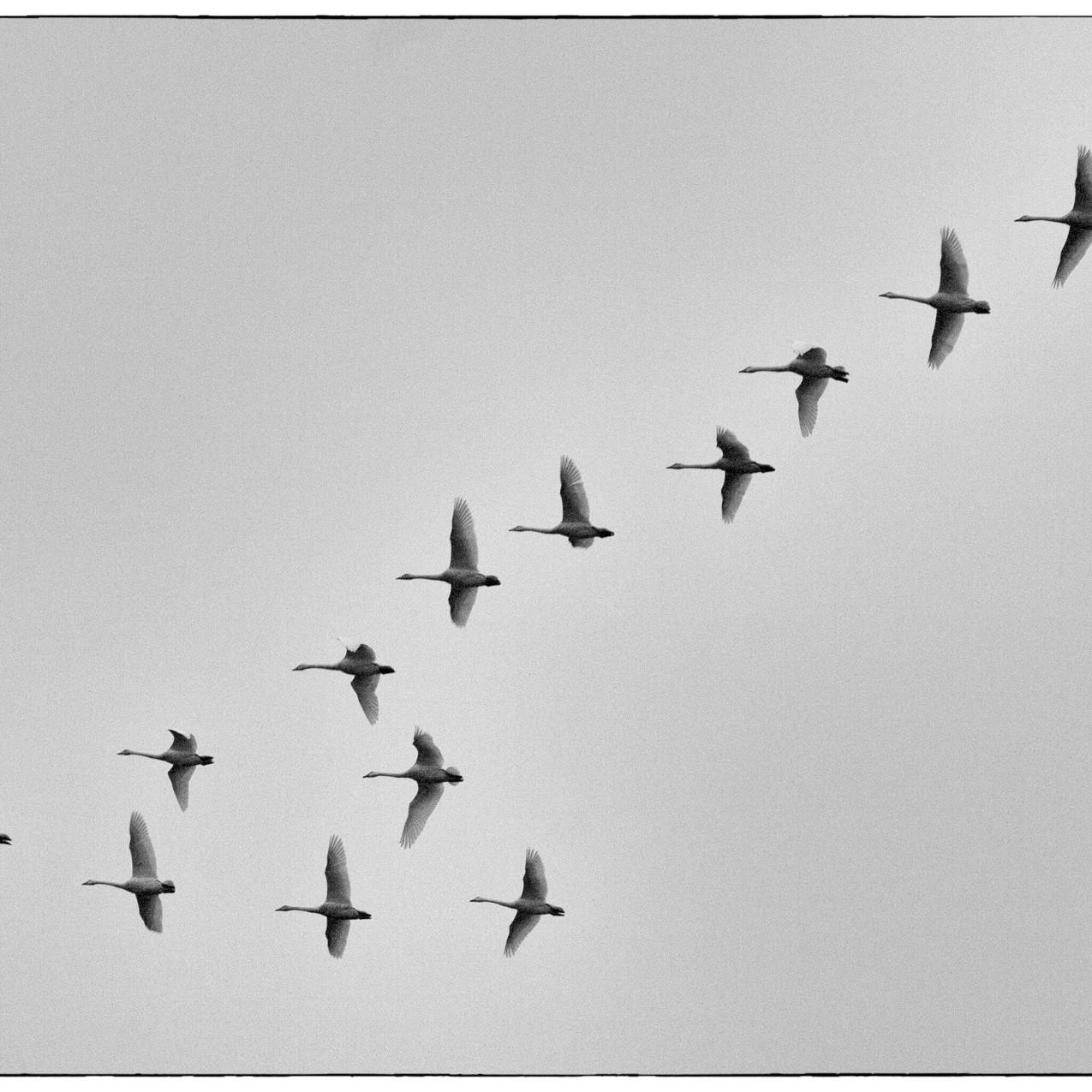 Swans at Sunrise Kilmaluag 2017