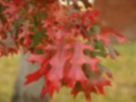 Red_oak_fall_color.jpg