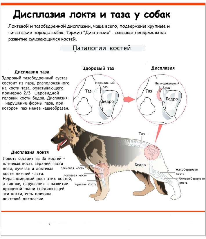 Дисплазия у собак !