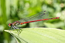 Large Red damselfly (8).jpg