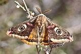 Emperor Moth-8.jpg
