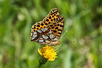 Queen of Spain Fritillary (3).jpg