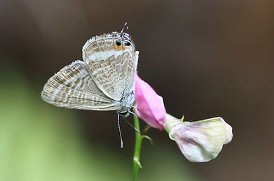 Long-tailed Blue (4).jpg