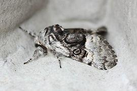 Garden - Moth - Nut-tree Tussock-2.jpg