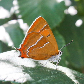 The beauty of the reclusive Hairstreaks!