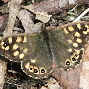The humble Speckled Wood